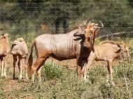 20160130-1DX_0701 Tag Wildebeest Gold